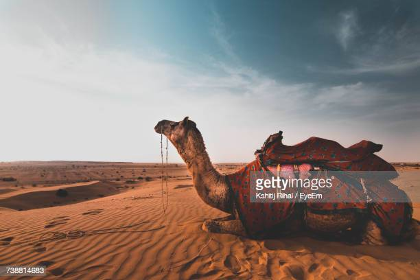 Side View Of Camel On Sand At Desert Against Sky