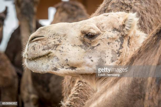 Side view of camel
