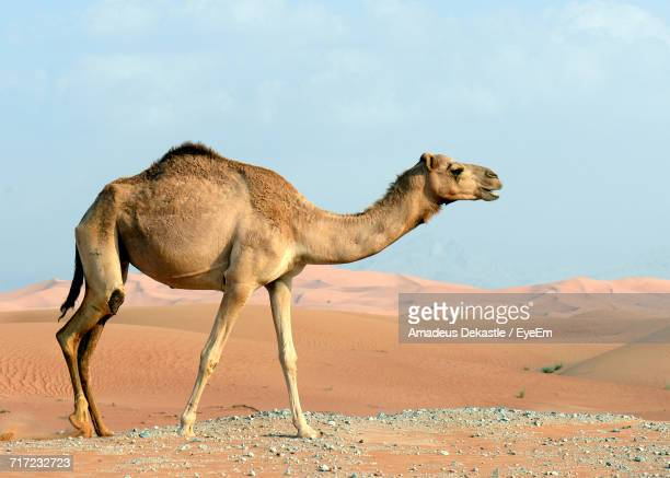 side view of camel walking at desert against sky during sunny day - camel stock pictures, royalty-free photos & images