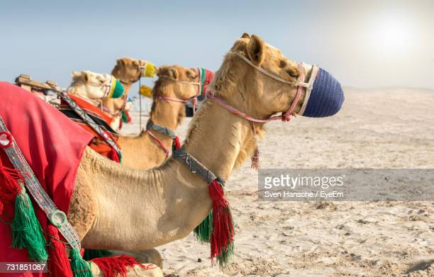 Side View Of Camels At Desert