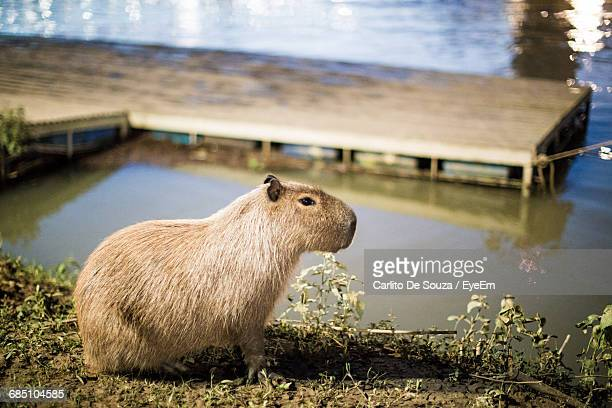 side view of capybara on field by lake - capybara stock pictures, royalty-free photos & images