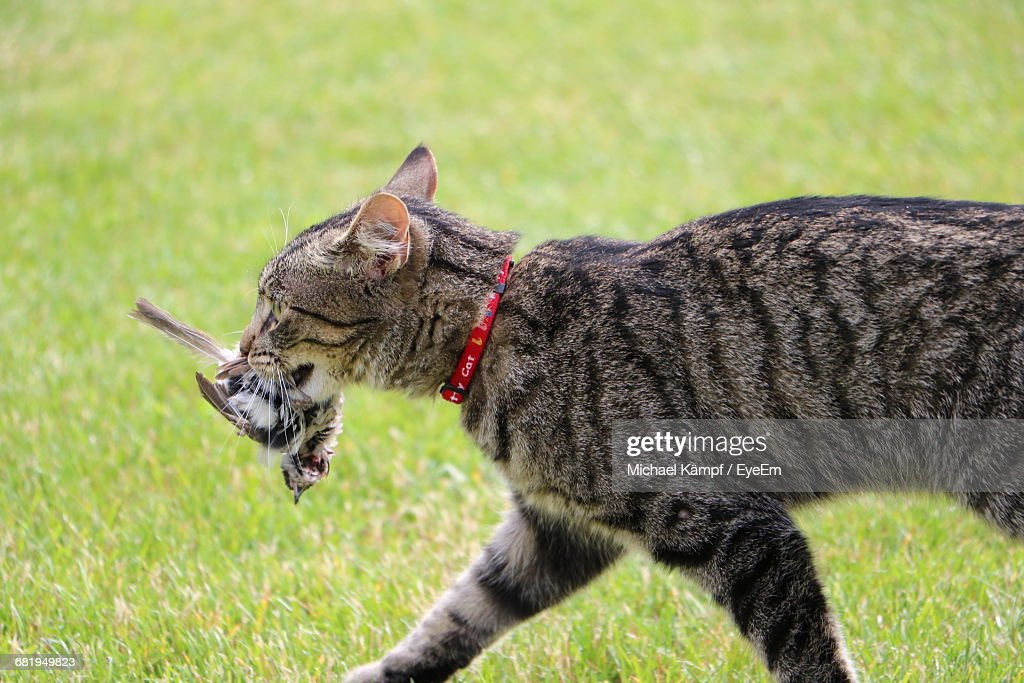 Side View Of Cat Carrying Prey In Mouth On Grassy Field : Stock Photo