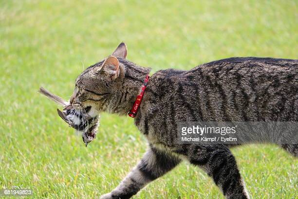 side view of cat carrying prey in mouth on grassy field - くわえる ストックフォトと画像