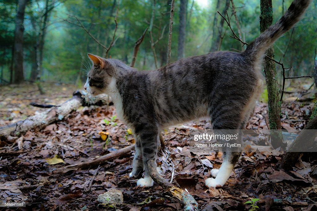 Side View Of Cat Standing On Ground Against Trees In Forest : Stock Photo