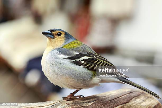 Side View Of Chaffinch Perching On Wood