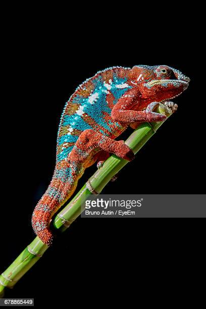 Side View Of Chameleon On Plant Stem At Night