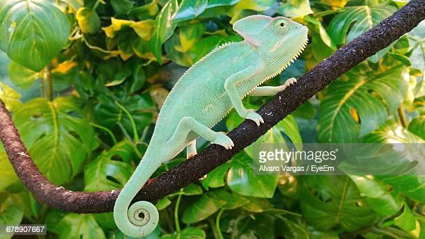 Side View Of Chameleon On Tree