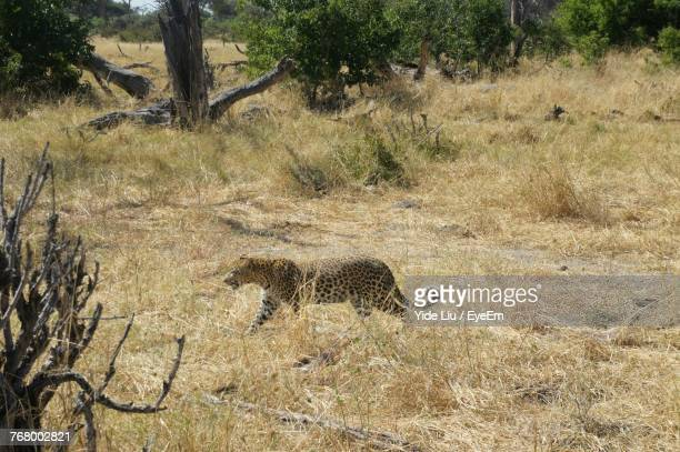 Side View Of Cheetah Walking On Grassy Field