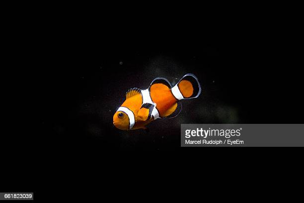 Side View Of Clown Fish Against Black Background