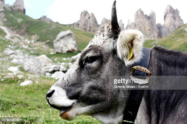 Side View Of Cow Standing Below Mountain