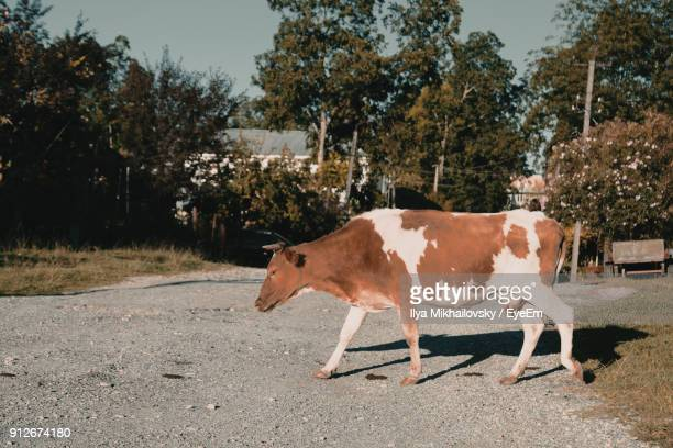 Side View Of Cow Standing On Road