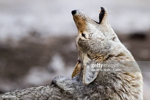 Side View Of Coyote Howling