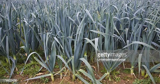 Side view of crop of leeks growing in a field Boyton Suffolk England
