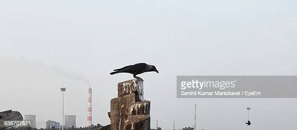Side View Of Crow Perching On Rock Against Clear Sky