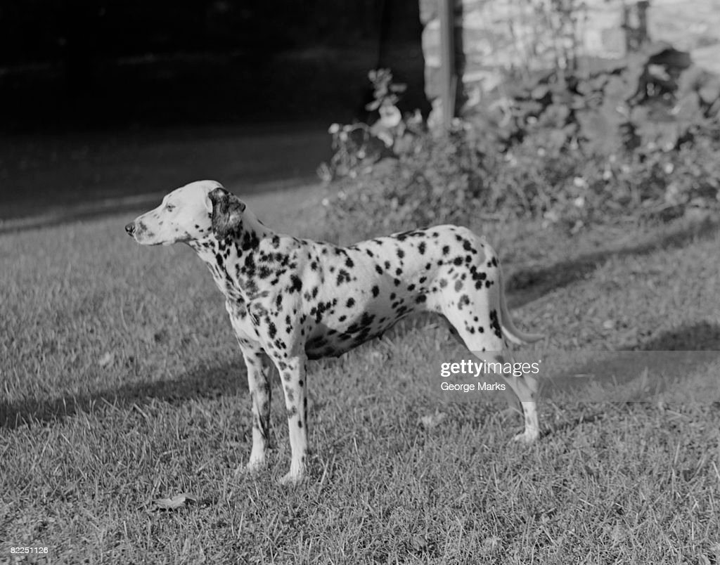 Side view of Dalmatian dog in garden : Stock Photo