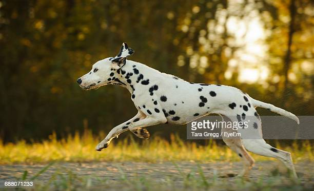 Side View Of Dalmation Running