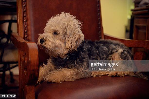 side view of dandie dinmont terrier sitting on chair in house - dandie dinmont terrier photos et images de collection