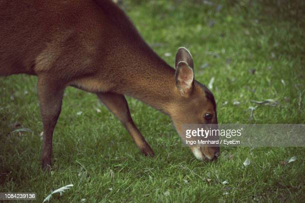 side view of deer grazing on field - herbivorous stock pictures, royalty-free photos & images