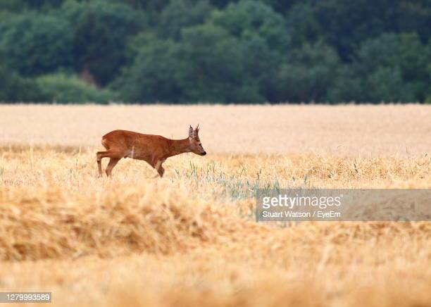 side view of deer on field - taunton somerset stock pictures, royalty-free photos & images