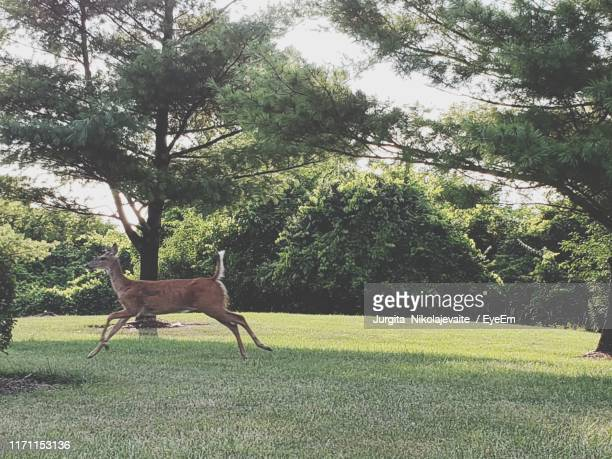 side view of deer running on field - darien dash stock pictures, royalty-free photos & images