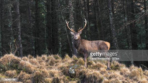 side view of deer standing in forest,glen etive,ballachulish ph ja,united kingdom,uk - deer stock pictures, royalty-free photos & images