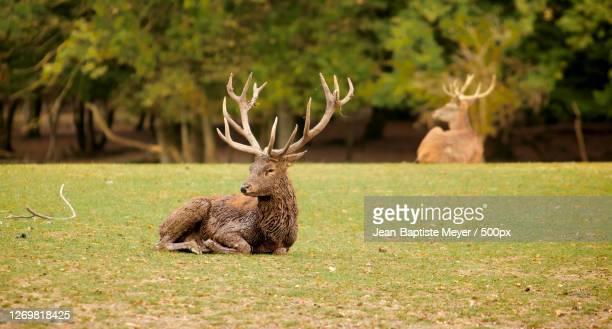 side view of deer standing on field, sarrebourg, france - moselle stockfoto's en -beelden