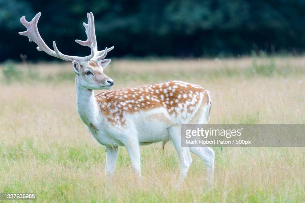 side view of deer standing on field,united kingdom,uk - herbivorous stock pictures, royalty-free photos & images