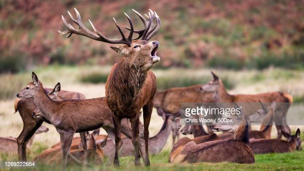 side view of deer standing on grassy field in forest, richmond, united kingdom - nature stock pictures, royalty-free photos & images