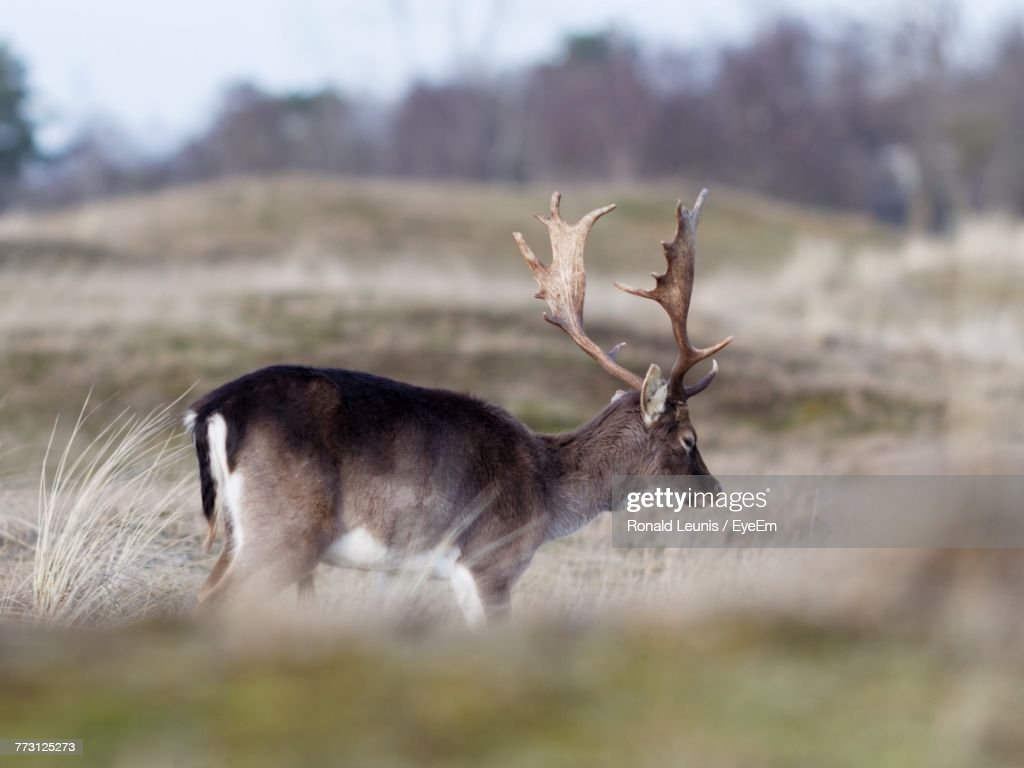 Side View Of Deer Standing On Grassy Field : Photo