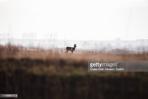 side view of deer standing on land against sky - chevreuil photos et images de collection