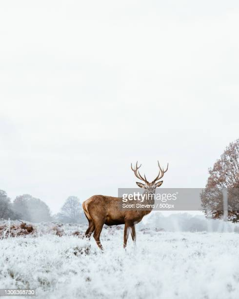 side view of deer standing on snow covered field,london,united kingdom,uk - stag stock pictures, royalty-free photos & images