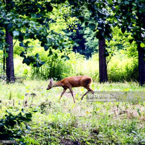 Side View Of Deer Walking In Forest