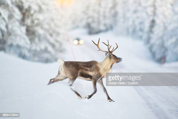 side view of deer walking on snow covered road - renna foto e immagini stock