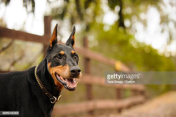 side view of doberman pinscher at park - doberman foto e immagini stock