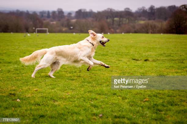 Side View Of Dog Running On Grassy Field