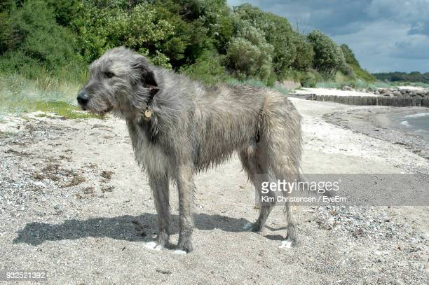 Side View Of Dog Standing On Sand At Beach