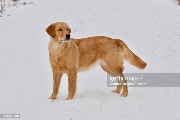 Side View Of Dog Standing On Snow Field