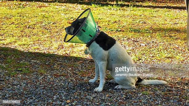 side view of dog with protective cone sitting in park - protective collar stock pictures, royalty-free photos & images