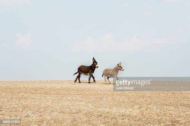 side view of donkeys walking on agricultural field against sky - esel stock-fotos und bilder