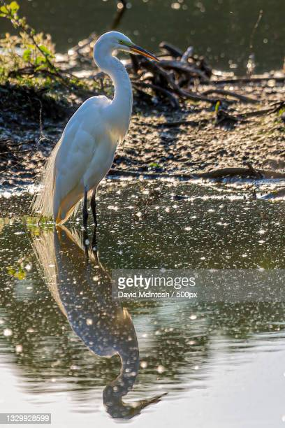 side view of egret perching in lake,sarnia,ontario,canada - サルニア ストックフォトと画像