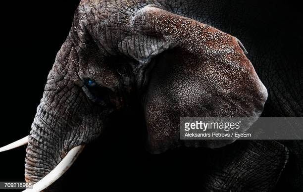 side view of elephant against black background - tusk stock pictures, royalty-free photos & images