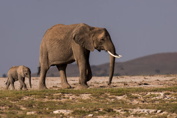 Side view of elephant calf standing on grassy field
