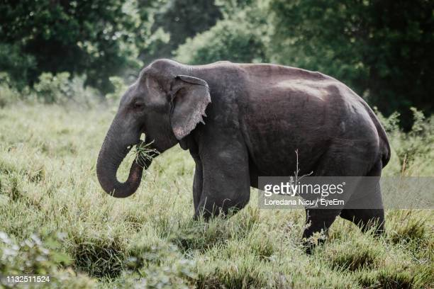 side view of elephant eating grass at field - asian elephant stock pictures, royalty-free photos & images