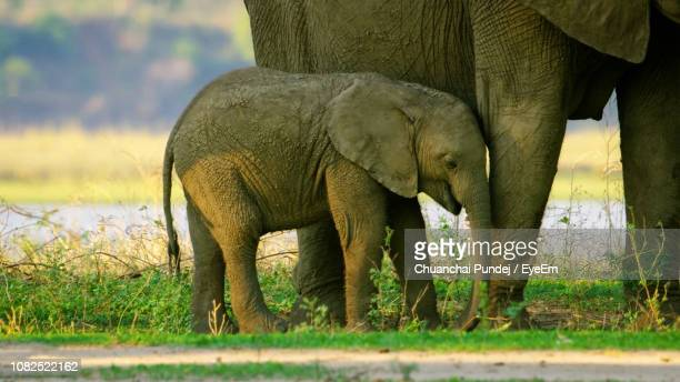 side view of elephants on field - herbivorous stock pictures, royalty-free photos & images