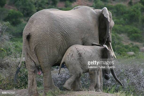 side view of elephants on field - solomon turkel stock pictures, royalty-free photos & images