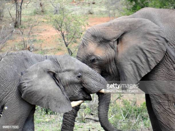 side view of elephants standing in forest - elephant face stock photos and pictures