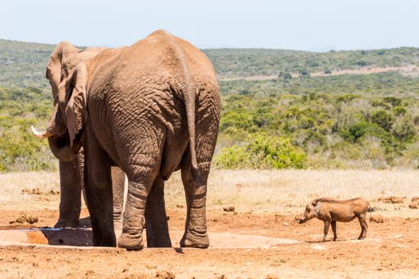 Side view of elephants standing on field,Addo Elephant National Park,South Africa