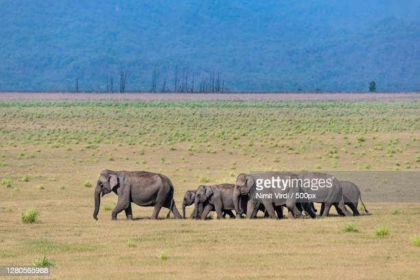 side view of elephants walking on grassy field,jim corbett national park,india - animals in the wild stock pictures, royalty-free photos & images