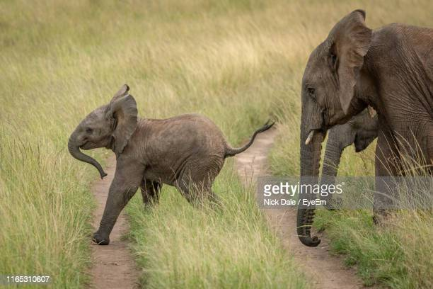 side view of elephants walking on grassy land - animal family stock pictures, royalty-free photos & images