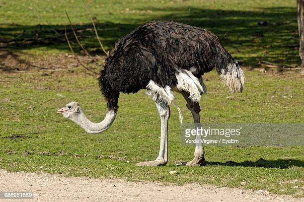 Side View Of Emu On Grassland